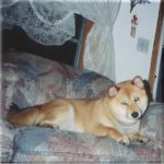 Trucker was our first Shiba
