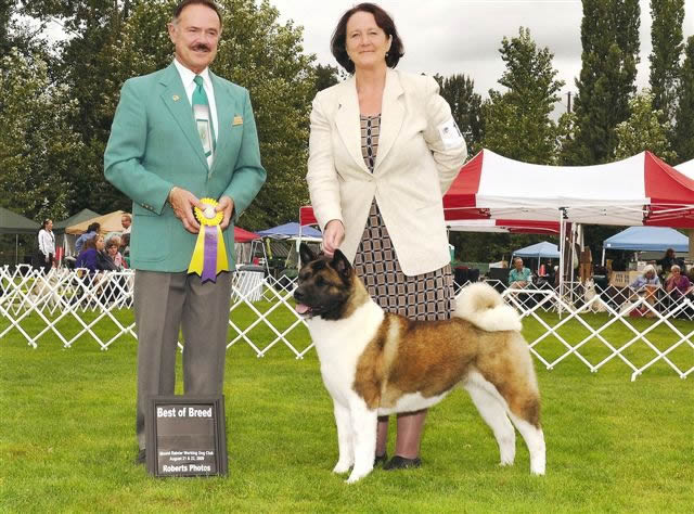 Grace is very much a princess who is loved by Wendy Sorrell in WA.  She is an Ch Ego X Ch. Pj daughter and her parents first Champion.