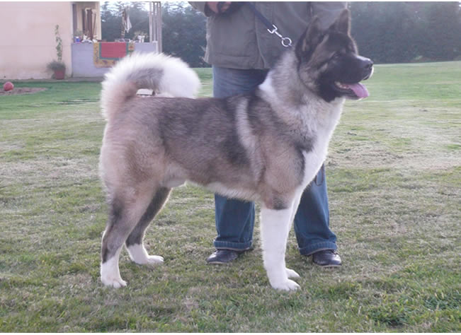 Sp. Ch Kramer living in Spain with Francisco Montoto and Luis Besada.  He is the sire of the Best In Show son himself and is out of Ch. Rumor X Ch. Star.  Thank you to his owners for bringing me to Spain twice and showing me a great time.