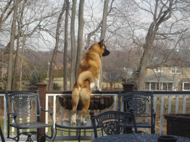 A Ch. Rumor x Ch. Savannah son keeping watch over his castle in PA